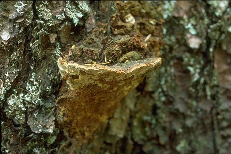 Red ring rot - <em>Phellinus pini</em> fruiting bodies on pine