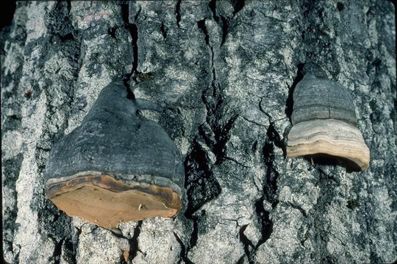 Aspen trunk rot - Fruiting bodies of <em>Phellinus tremulae</em>