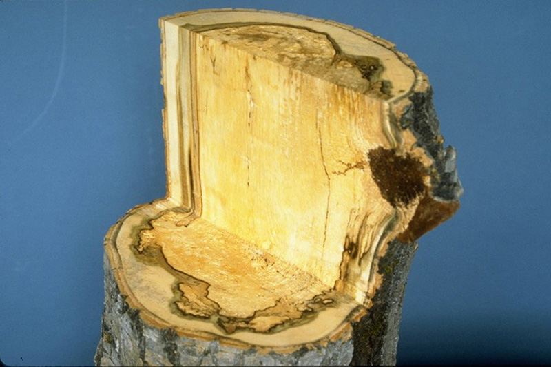 Aspen trunk rot