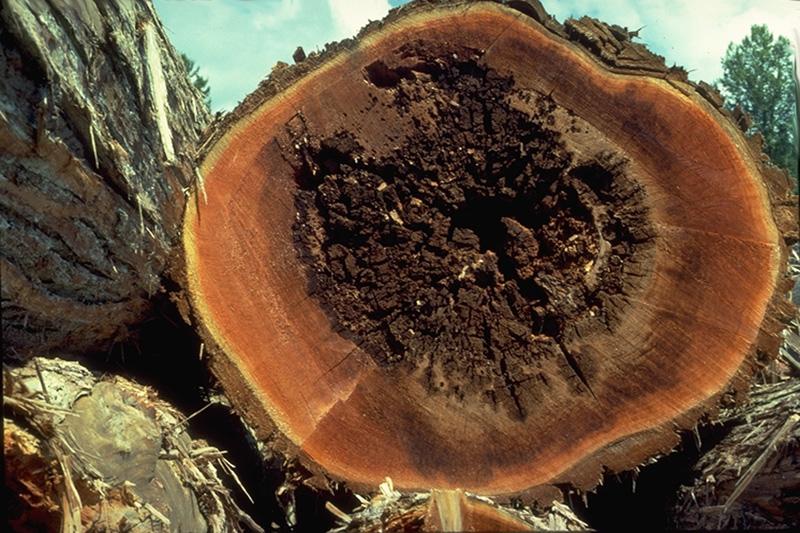 Pocket rot of cedar - Brown Cubical butt / Pocket Rot in western redcedar