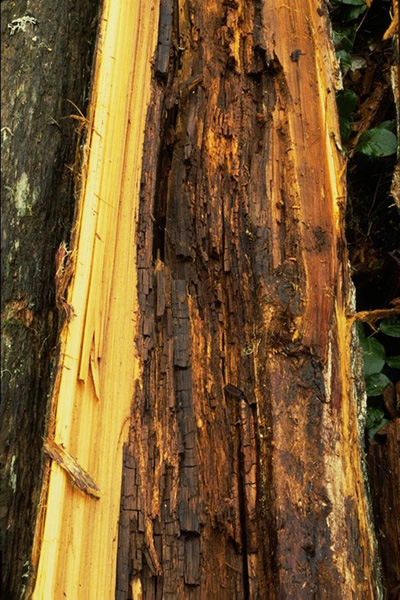 Pocket rot of cedar