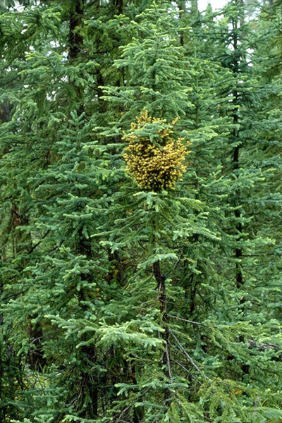 Spruce broom rust