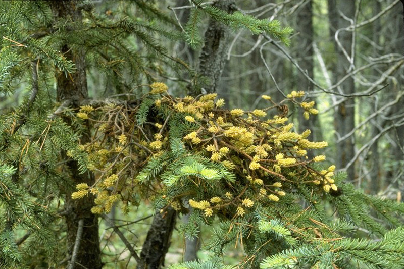 Spruce broom rust - Spruce broom with sporulating aecia on needles