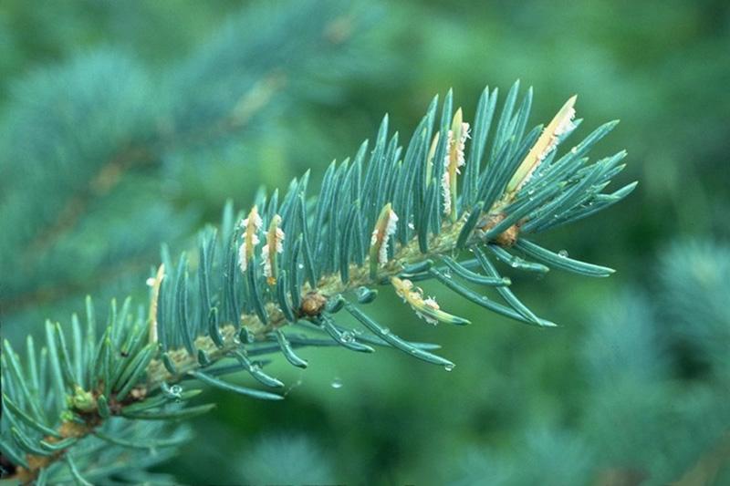 Spruce-Labrador tea needle rust