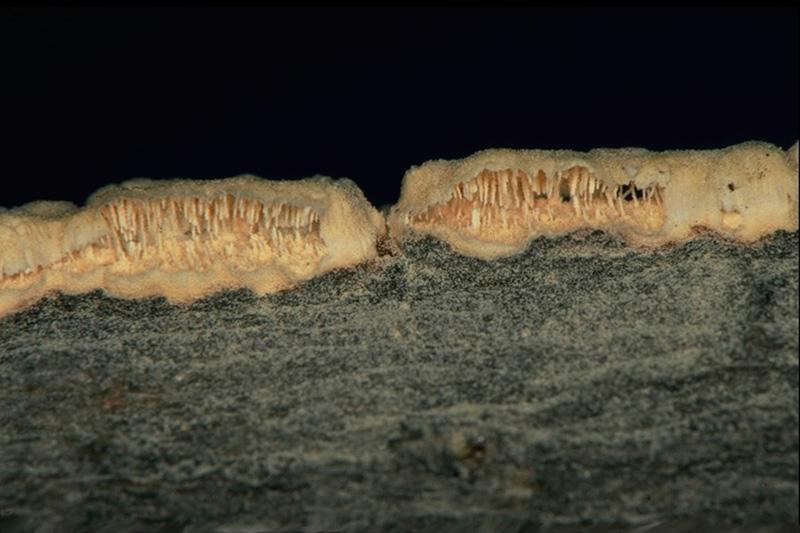 Stalactiform blister rust