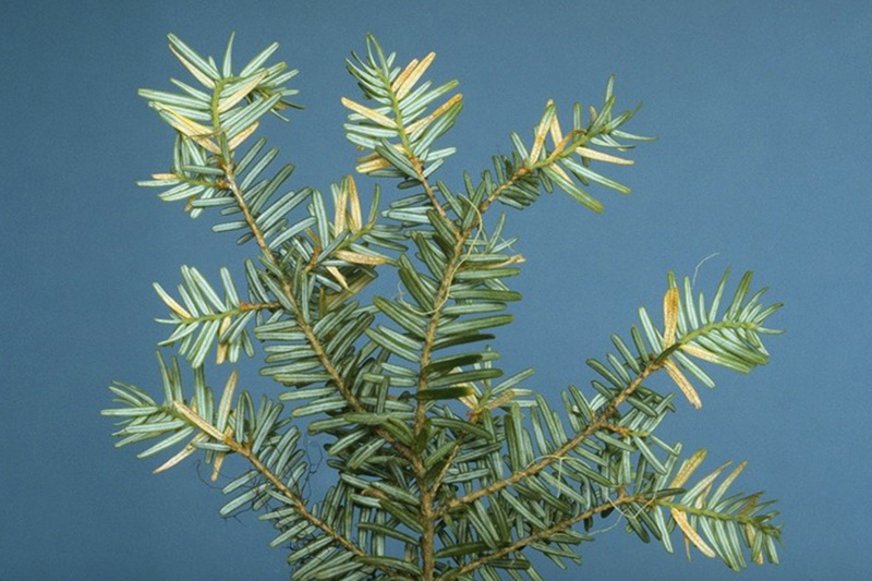 Hemlock - Blueberry rust