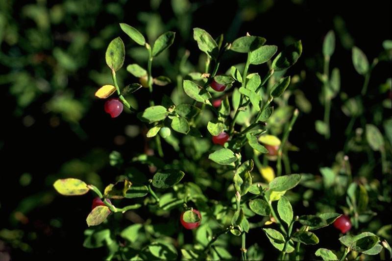 Hemlock - Blueberry rust
