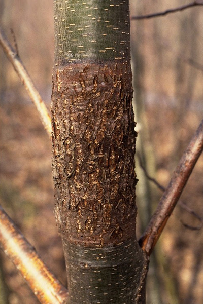 Rough bark of alder - Canker caused by <em>Didymosphaeria oregonensis</em> on red alder