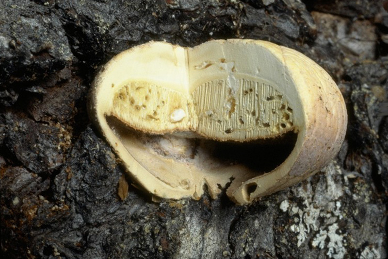 Red butt rot and sap rot