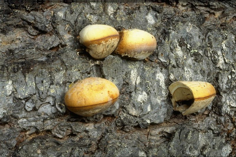 Red butt rot and sap rot - Fruiting bodies of <em>C. volvatus</em>, some dissected longitudinally to show the spore-producing surface