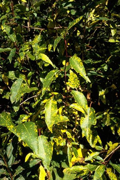 Hemlock-willow rust