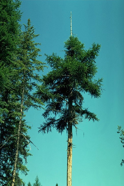 Larch dwarf mistletoe - Larch dwarf mistletoe