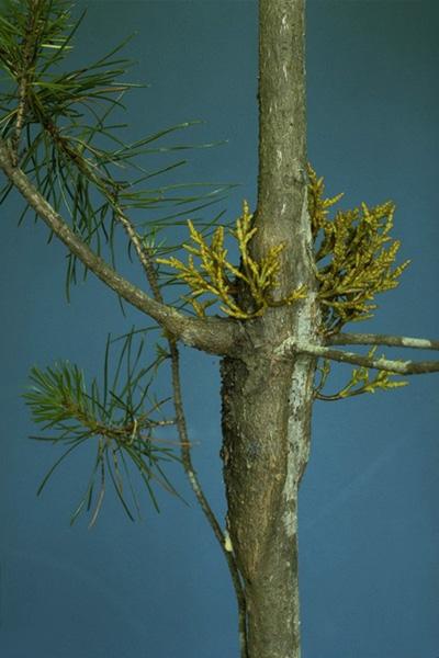 Lodgepole pine dwarf mistletoe
