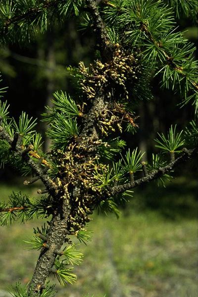 Larch dwarf mistletoe