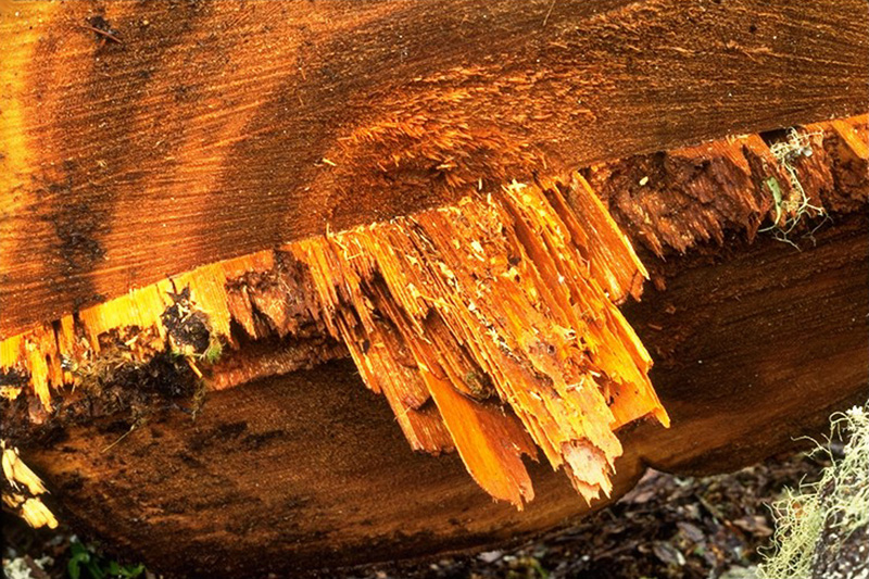 White butt rot - White laminated rot - Laminate decay in western redcedar caused by <em>C. rivulosa</em>