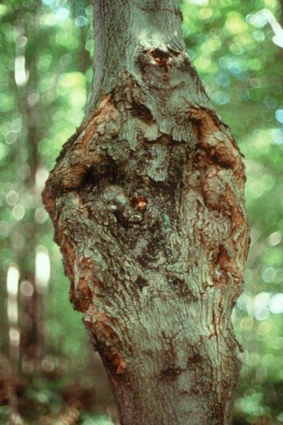 Eutypella canker - Eutypella canker on sugar maple, caused by <em>Eutypella parasitica</em>.