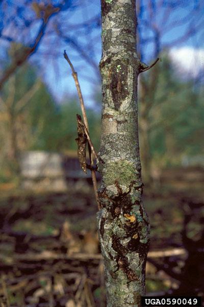 Dogwood anthracnose