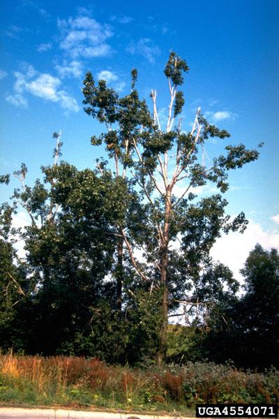 Dothichiza canker of poplar