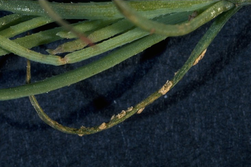 Conifer - Aspen rust