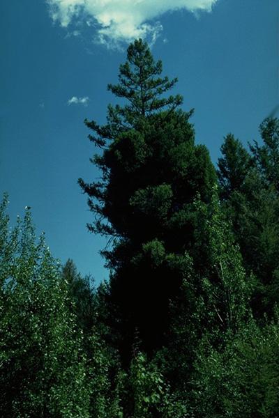 Douglas fir dwarf mistletoe