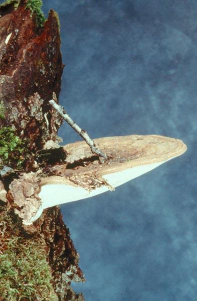 White mottled rot