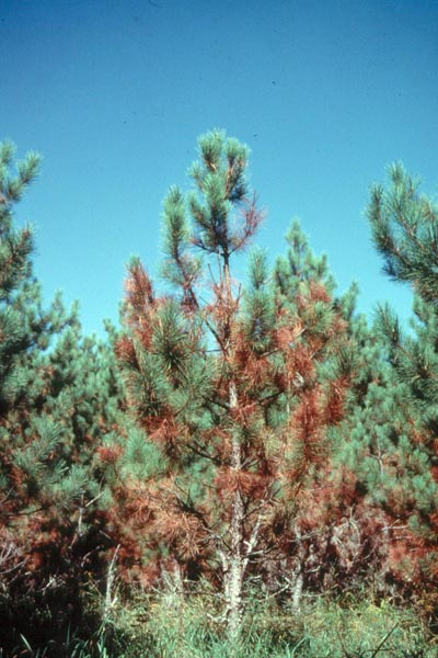 Scleroderris canker, European strain - Red pine infected with the European race of <em>Gremmeniella abietina</em>, the cause of Scleroderris canker.