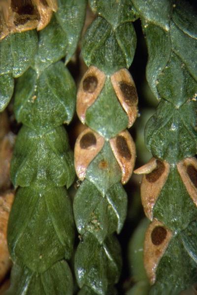 Cedar needle blight - Apothecia of <em>Didymascella thujina</em> on western redcedar scale-leaves