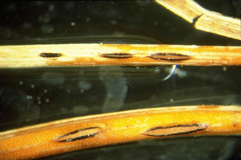 Elytroderma needle cast