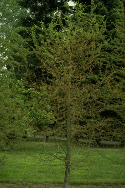 Needle blight (<em>Meria laricis</em>) - Needle discoloration and defoliation of western larch infected by <em>Meria laricis</em>