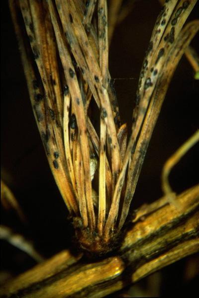 Larch needle cast
