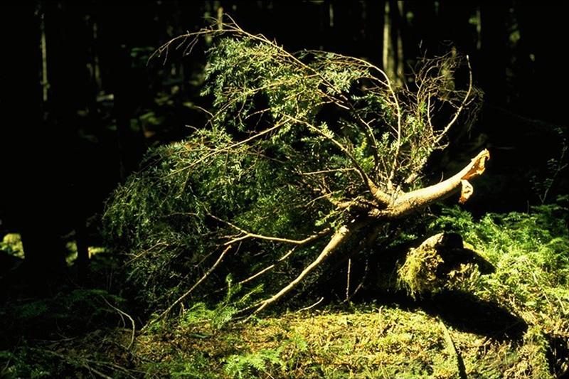 Hemlock dwarf mistletoe - Broken branch due to a heavy broom of hemlock dwarf mistletoe on western hemlock