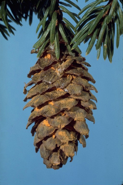 Spruce cone rusts - <em>Chrysomyxa pirolata</em> aeciospores produced beneath the cone scales of spruce cones