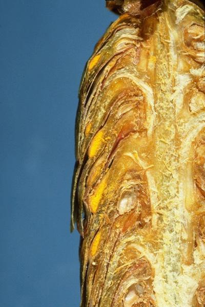 Spruce cone rusts