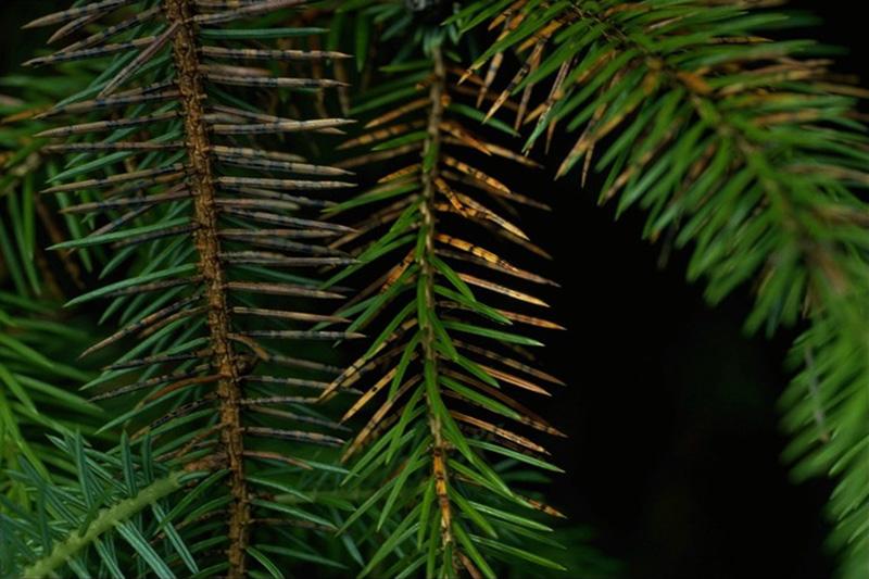 Needle cast (<em>Lirula macrospora</em>) - Fruiting bodies of <em>Lirula macrospora</em> on Sitka spruce