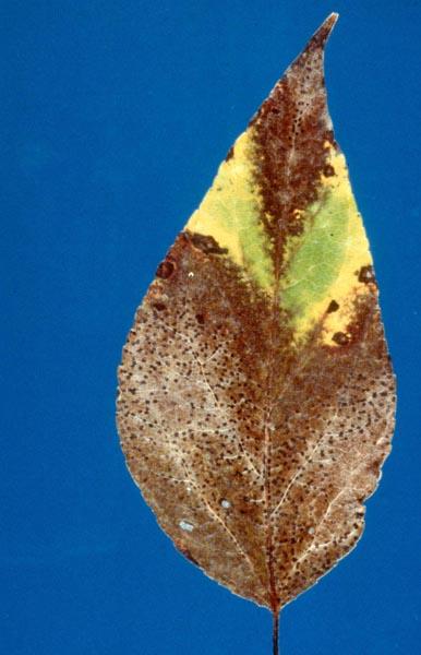 Leaf blight (<em>Linospora tetraspora</em>)