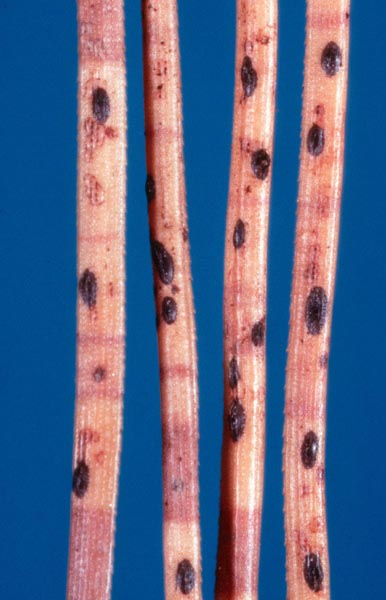 Needle cast (<em>Lophodermium seditiosum</em>) - Fruiting bodies typical of Lophodermium needle cast on infected pine needles.