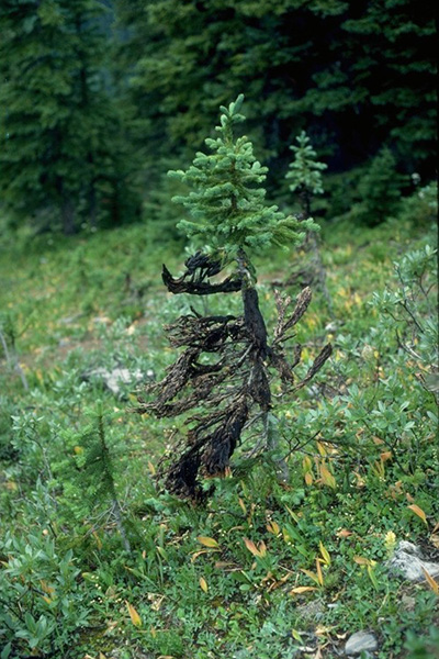 Brown felt blight - Brown felt-like mycelial masses characteristic of <em>Herpotrichia juniperi</em> covering needles and branches of spruce