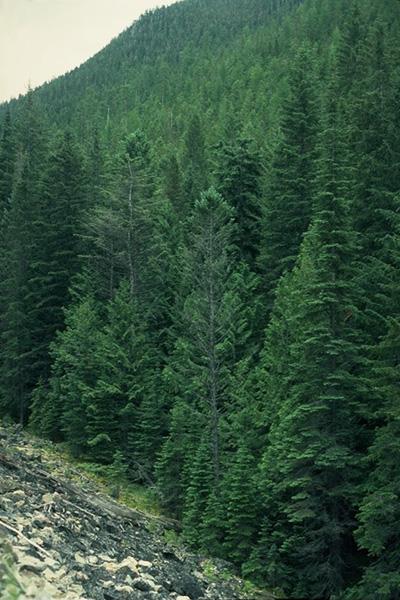 Douglas-fir needle blight