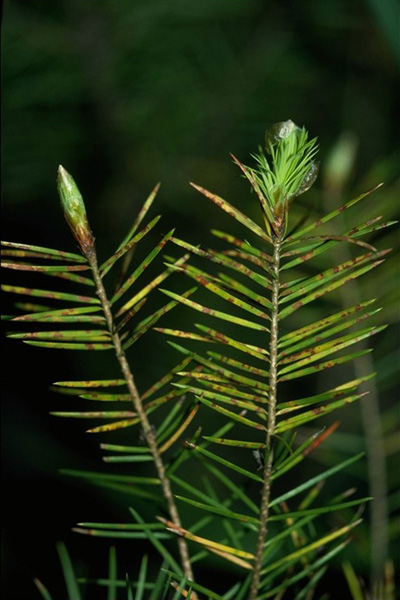 Douglas-fir needle blight - Red-brown spots on <em>Rhabdocline</em>-infected Douglas-fir needles