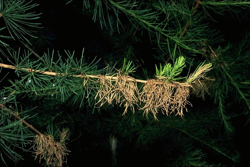 Larch needle cast - Dead needles infected by <em>Hypodermella laricis</em> retained on western larch