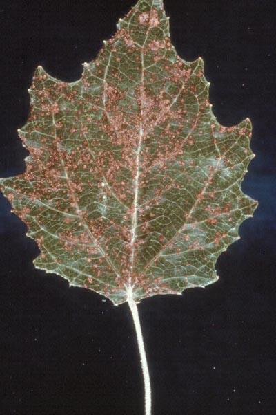 Marssonina leaf spot