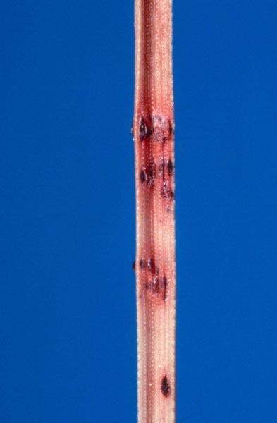 Dothistroma needle blight
