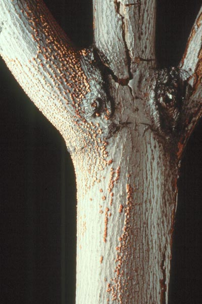 Nectria dieback