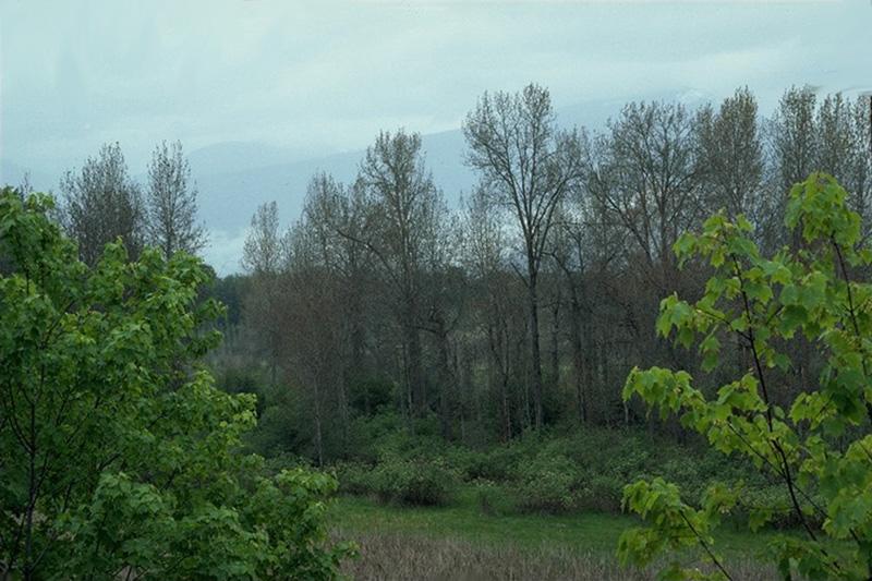 Leaf blight  (<em>Ventura populina</em>) - Defoliation caused by <em>V. populina</em>