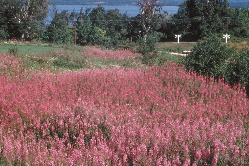 Fir-fireweed rust