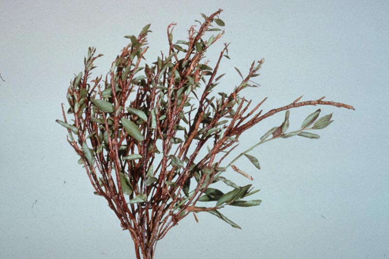 Fir-blueberry rust - Witches'-broom of blueberry caused by <em>Pucciniastrum geoppertianum</em>, a needle rust fungus of balsam fir that has blueberry as its alternate host.