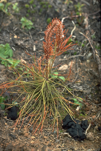 Rhizina root rot