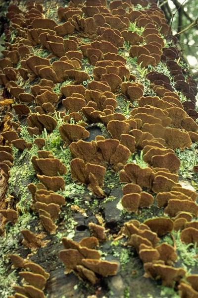 Pitted sap rot - A mass of fruiting bodies in typical abundance on a dead Douglas-fir stem