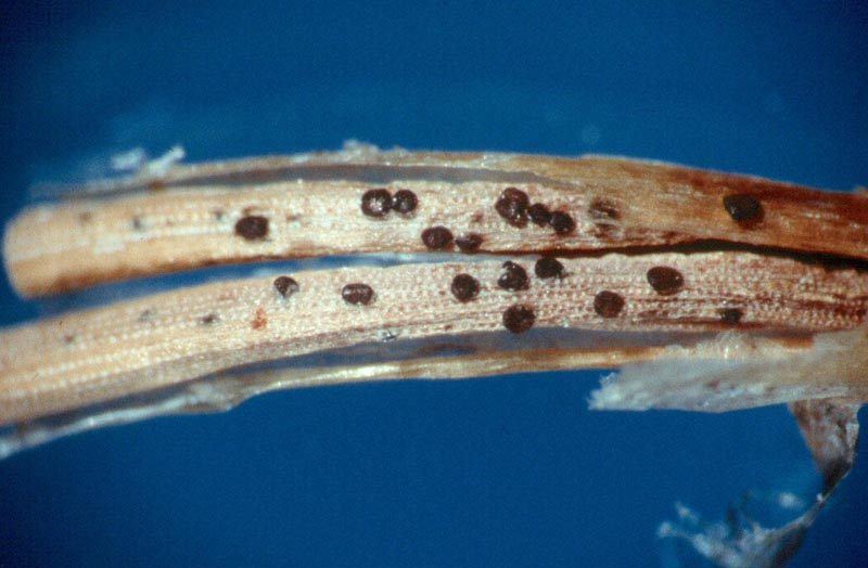 Sirococcus Shoot Blight - <em>Sirococcus conigenus</em>, the causal agent of Sirococcus shoot blight, fruiting on white spruce. On pine, fruiting often occurs under the needle sheath.