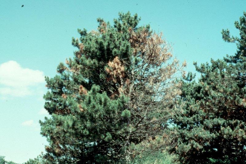 Diplodia tip blight (<em>Sphaeropsis sapinea</em>)